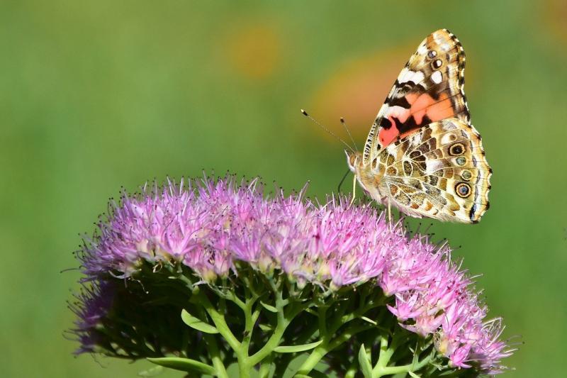 Een vlinder, ter illustratie (Afbeelding: Pixabay)