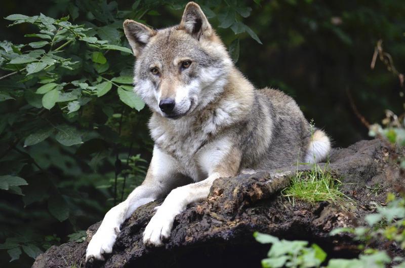 Niet de wolf uit het verhaal (Afbeelding: Pixabay)