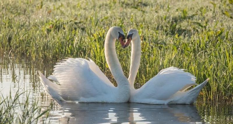 2 verliefde zwanen (Foto: Klapmongeaul)
