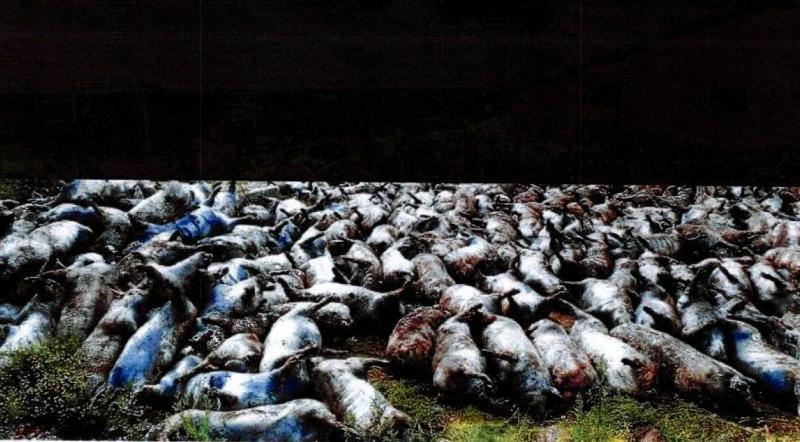 Een (gecensureerde) politiefoto uit het rapport van de NVWA  (Foto: Animal Rights)