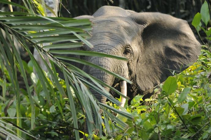 Afrikaanse Bosolifant (foto:wikipedia)