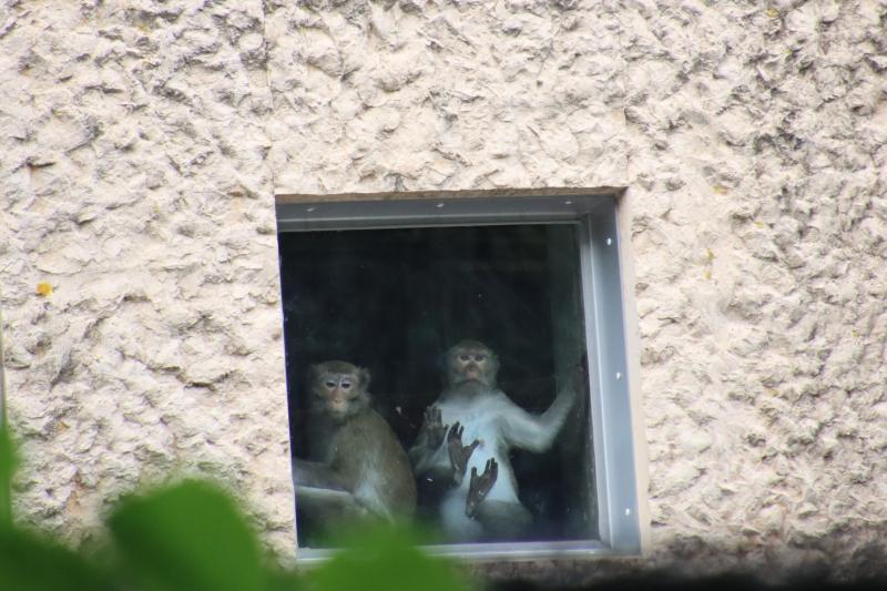 Apen bij het BPRC (Foto: Animal Rights)