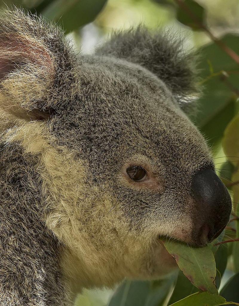 Koala's drinken niet (WikiCommons/Sheba_Also)