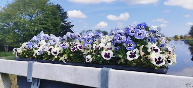 Viooltjes op een brug  (Foto: FOK!)