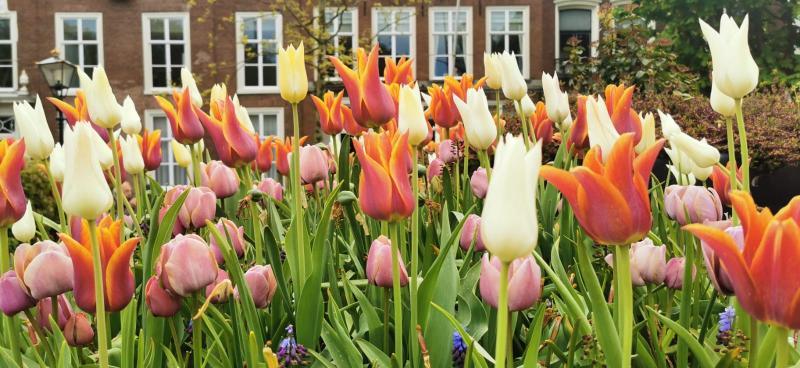 Tulpen in Den Haag (Foto: DJMO)