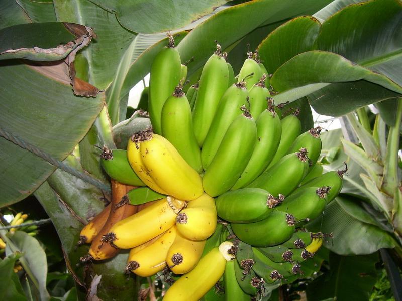 IJslandse bananen! (WikiCommons/Alistair Lockyer - Mahahahaneapneap)