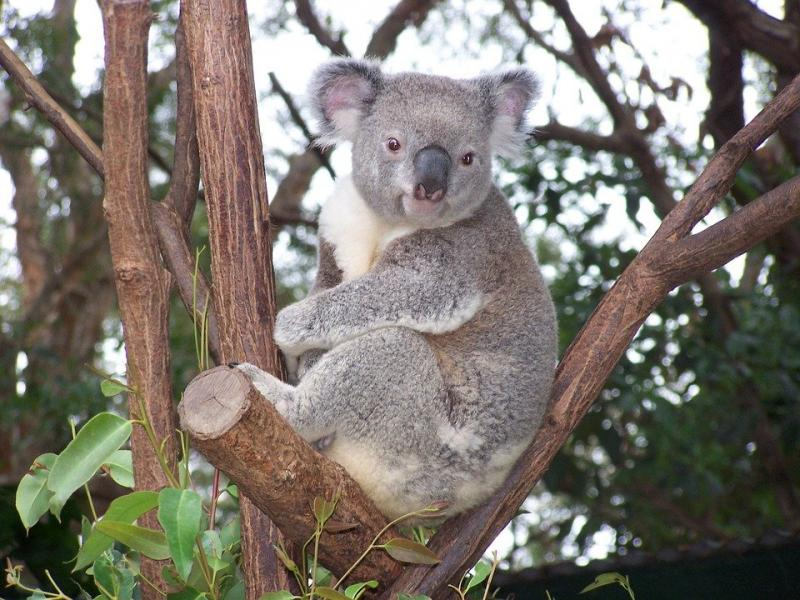 Koala ( Foto-Pixabay)