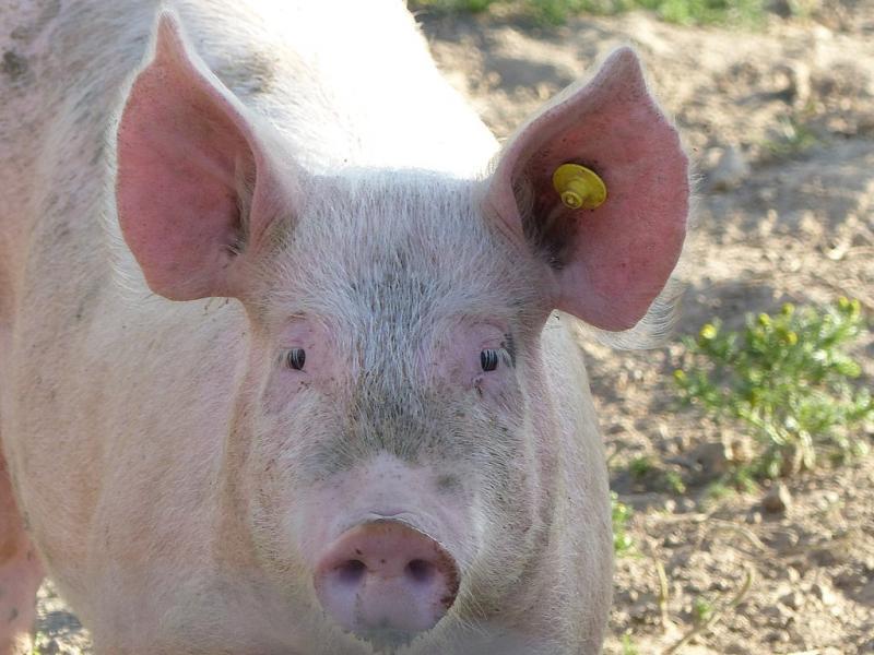 Het nutteloze feitje van de dag: Heel veel varkens (WikiCommons/Tsaag Valren)