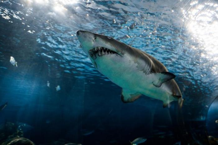 Grote witte haai ( Foto-Unsplash Marcelo Cidrack)